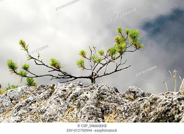 Yang fog tree
