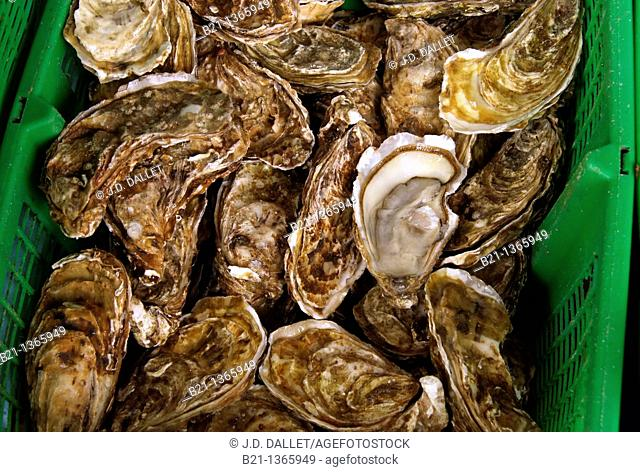 France, Aquitaine, Gironde, Food: 'Huitres' oysters