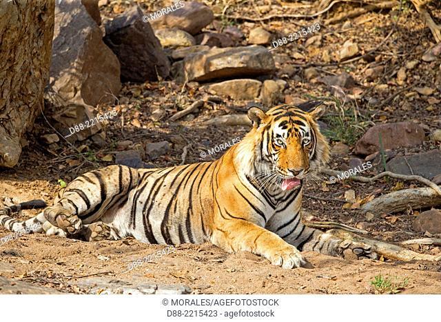 Asia,India,Rajasthan,Ranthambore National Park,Bengal tiger (Panthera tigris tigris),resting