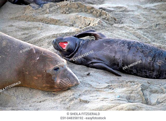 Elephant seal laying on a beach in California, mother and baby laying on a beach, baby with mouth open flipper to side of face