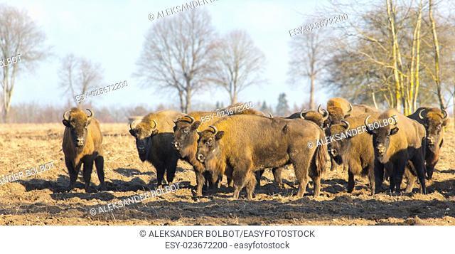 European Bison hurd in snowless winter time against pine trees in sunset light,podlasie Region,Poland,Europe