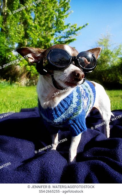 An adult male Chihuahua wearing goggles and a sweater outdoors