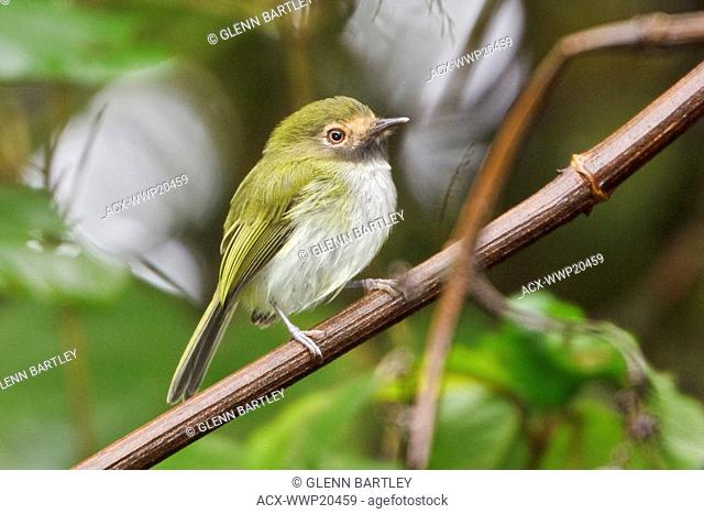 Black-throated Tody-Tyrant Hemitriccus granadensis perched on a branch near Valladolid in southeast Ecuador