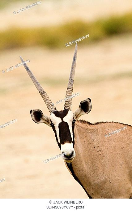 Gemsbok, portrait