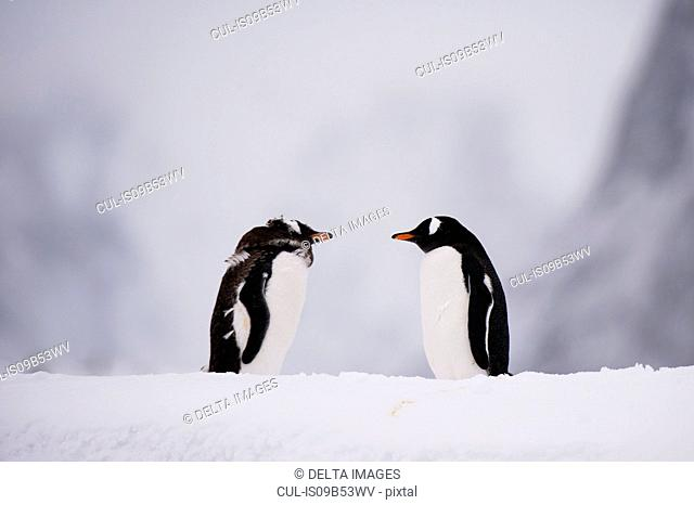 Two gentoo penguin (Pygoscelis papua) face to face, Petermann Island, Antarctica