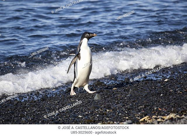 Antarctica. Adelie penguin (Pygoscelis adeliae) on the rocky beach of Brown Bluff. East coast of Tabarin Peninsula, on the South-western coast of the Antarctic...