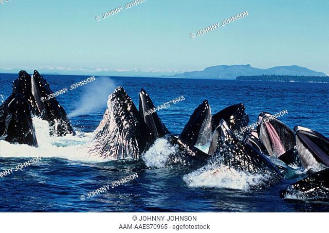 Humpback Whales Bubble Net feeding, AK, cooperative Behavior, Frederick Sound