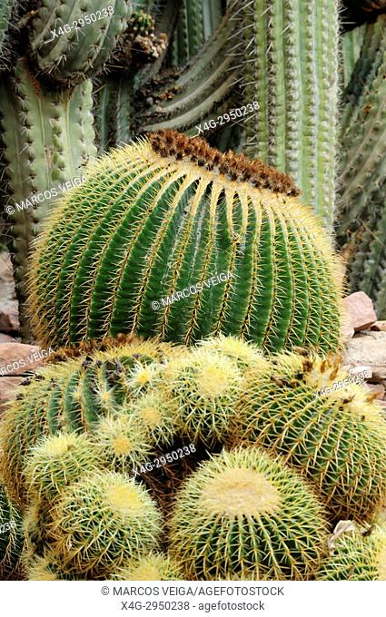 Golden barrel cactus, golden balls or mother-in-law's cushion (Echinocactus grusonii). Huerto del Cura National artistic garden