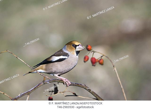 Hawfinch (Coccothraustes coccothraustes), photographed in the Tietar Valley, Toledo