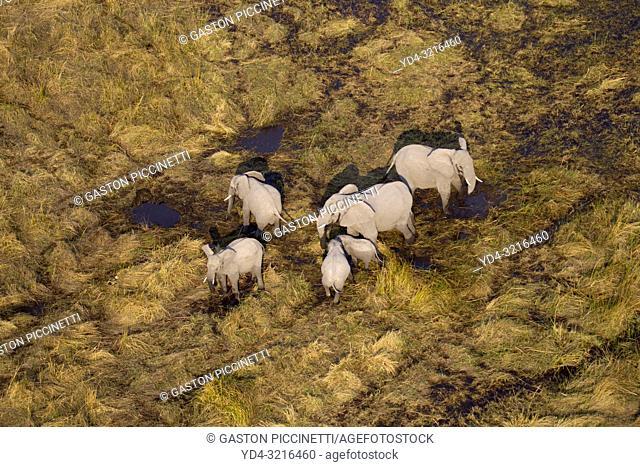 Aerial view of African Elephant (Loxodonta africana). Okawango Delta, Botswana. The Okavango Delta is home to a rich array of wildlife