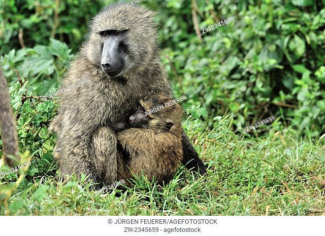 Monkeys, Olive Baboons, Papio anubis, in Nakuru Reserve, Kenya