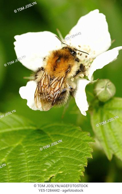 Common Carder Bee Bombus pascuorum  on white bramble flower, England, UK