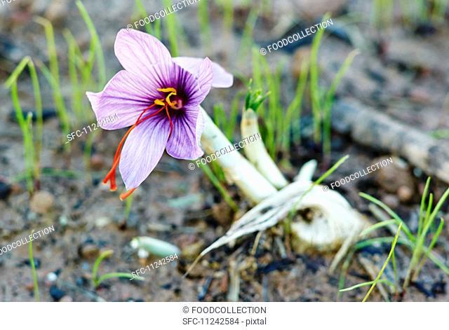 A saffron crocus growing in the earth