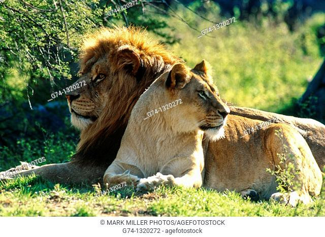 African lion and lioness, zoo captive