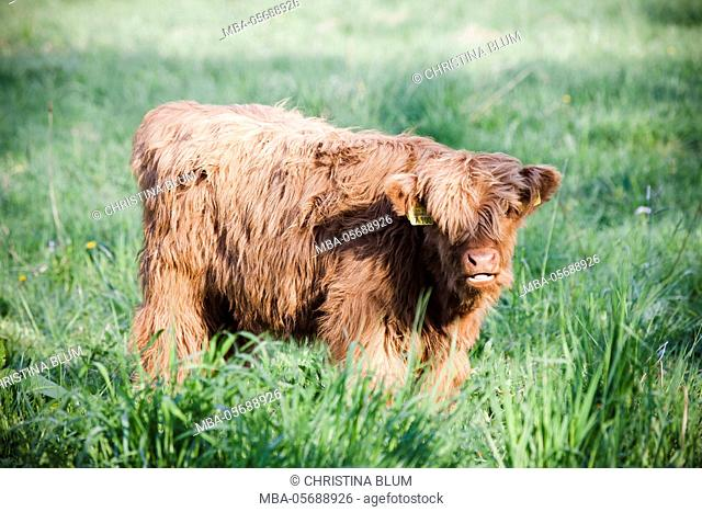 Highland Cattle, meadow