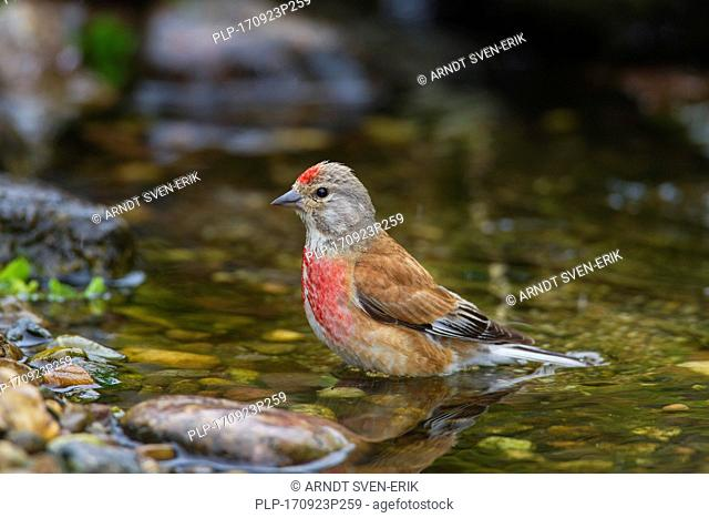 Common linnet (Linaria cannabina / Acanthis cannabina / Carduelis cannabina) male bathing in shallow water of brook