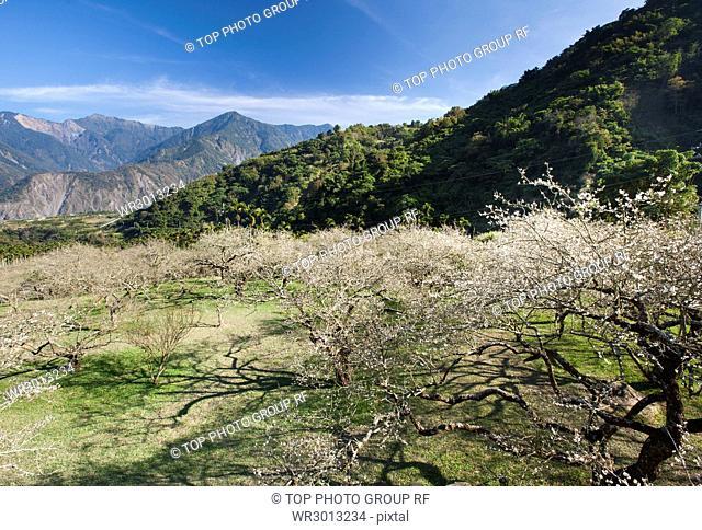 Nantou;Liu Plum blossom