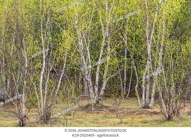 Spring burch trees, Greater Sudbury, Ontario, Canada