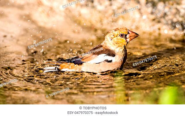 The beautiful young Hawfinch (Coccothraustes coccothraustes) enjoy bathing. Uppland, Sweden