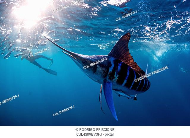 Striped marlin hunting mackerel and sardines, photographed by diver