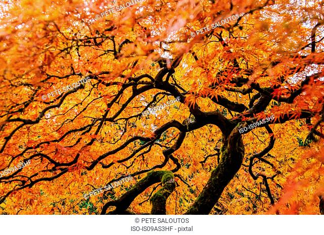 Low angle view of Japanese maple with orange autumn leaves