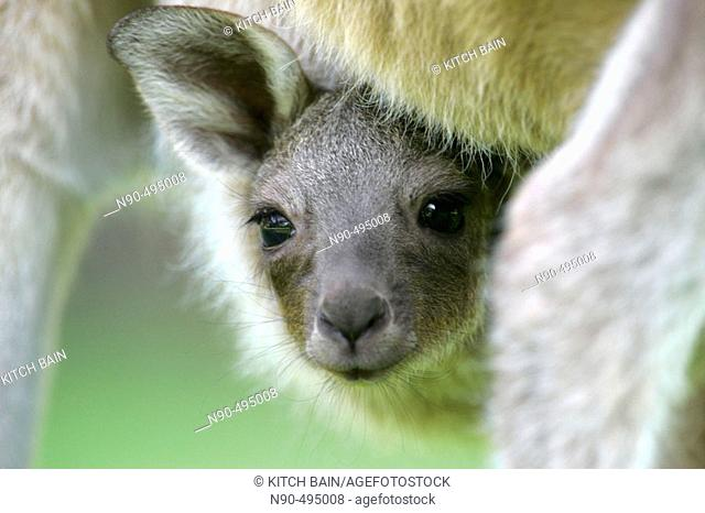 Baby kangaroo in pouch