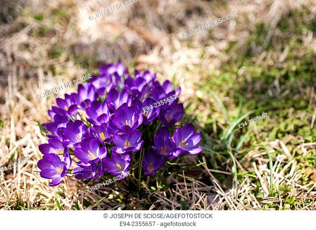 Close up of blooming crocus flowers in the spring
