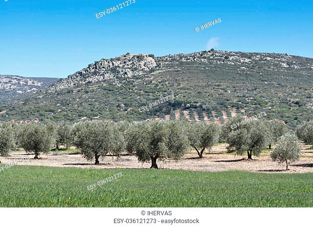 Olive grove at the foot of the mountain. Photo taken in Ciudad Real Province, Spain