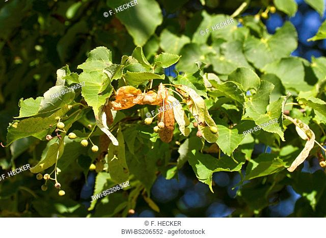 small-leaved lime, littleleaf linden, little-leaf linden (Tilia cordata), branch with fruits, Germany