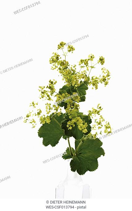 Lady's mantle on white background