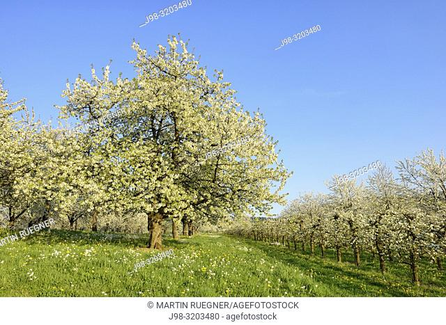 Cherry Trees in meadow, blossom, spring. Baden Württemberg, Baden Wuerttemberg, Schwarzwald, Germany