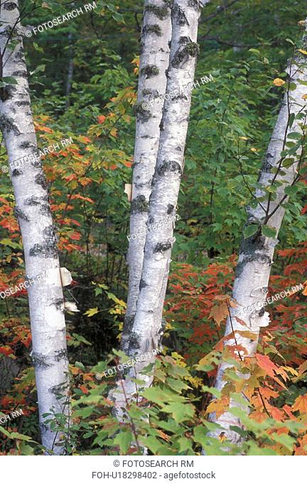 birch tree, fall, Groton State Forest, VT, Vermont, Birch trees surrounded by colorful fall foliage in Groton State Forest in the autumn