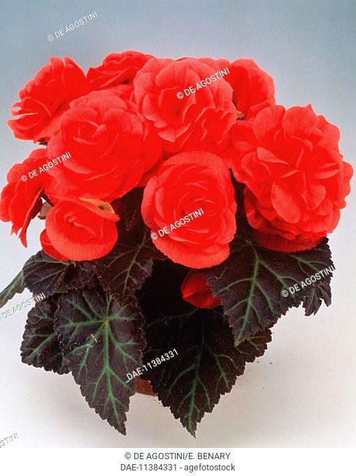 Hybrid tuberous begonia (Begonia tuberhybrida Ornament Hellrosa), Begoniaceae