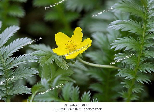 Common Silverweed, Potentilla anserina / Gänsefingerkraut, Potentilla anserina