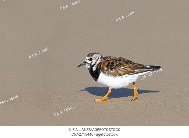 Turnstone Arenaria interpres in summer plumage on Norfolk shoreline