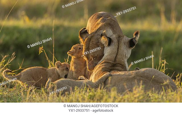 Lioness with 3 cubs start greeting a lioness visiting the pride. Masai Mara National Reserve, Kenya