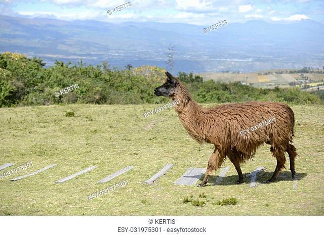 Brown llama on the boundless Ecuadorian field
