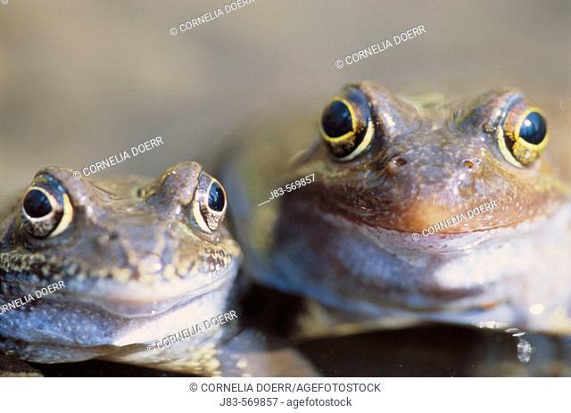 Common european frog. (Rana temporaria). Saxony, Germany