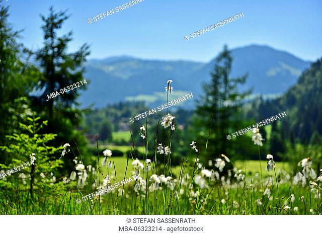 Cotton grass meadow