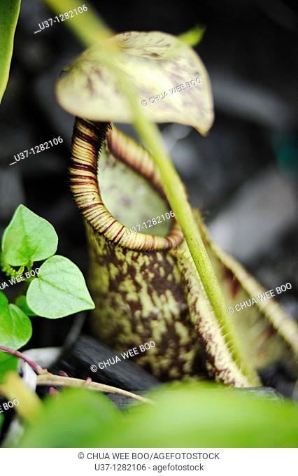 Nepenthes. This pitcher plant was taken at Orchid Garden, Kuching, Sarawak, Malaysia