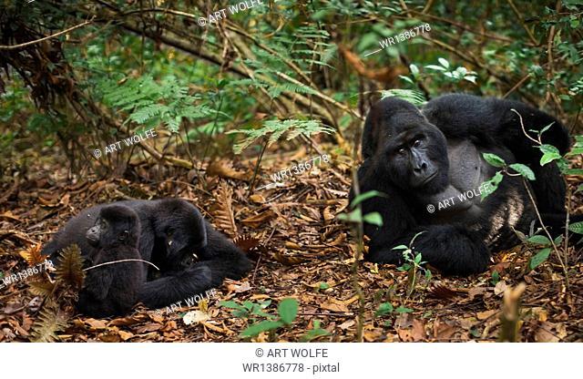 Mountain gorillas and juvenile, Volcanoes National Park, Rwanda