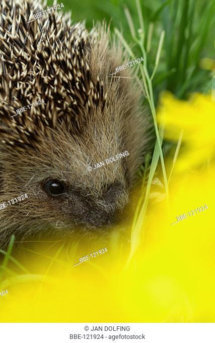 Hedgehog behind a Dandelion