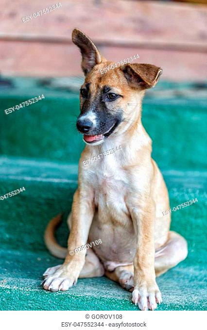 Street dog lying on wooden floor in Thailand