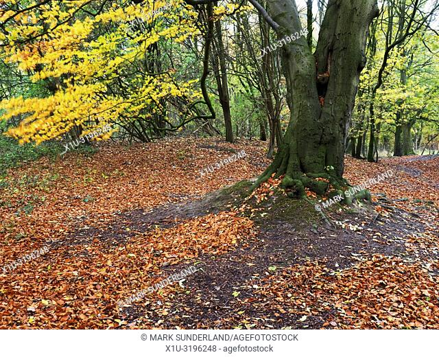 A carpet of fallen leaves in autumn woodland at Hornbeam Park Harrogate North Yorkshire England
