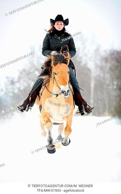 Norwegian Fjord Horse in snow