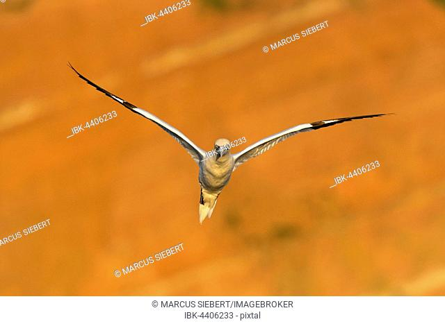Northern Gannet (Sula bassana) in flight, Schleswig-Holstein, Heligoland, Germany