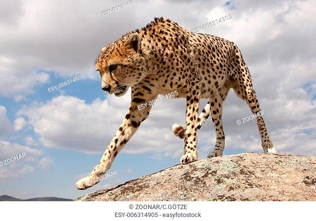 climbing cheetah