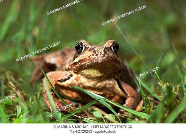Common frog; Rana temporaria; Geesthacht; Schleswig-Holstein; Germany