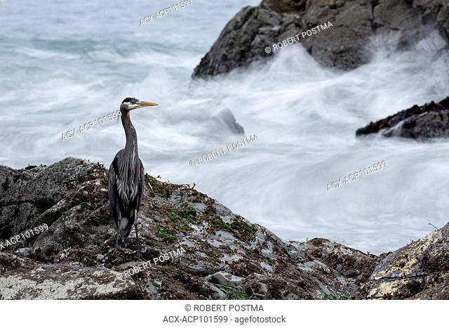 Great Blue Heron (Ardea herodias) standing on the rocks while the waves crash on the rocks, Tofino, British Columbia