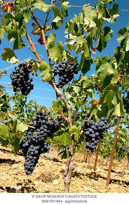 Grapes. Languedoc-Roussillon. France